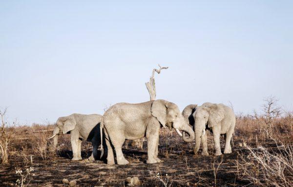 Elefanti nel Parco del Grande Limpopo. Foto di Andrea Frazzetta