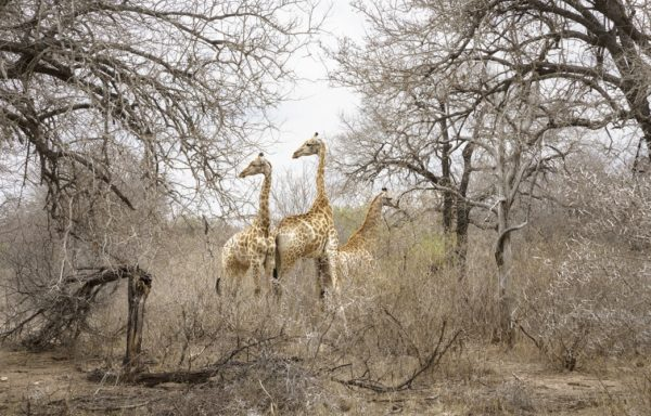 Giraffe nel Parco del Grande Limpopo. Foto di Andrea Frazzetta