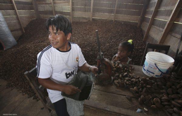 Progetto per sostenere la raccolta, la lavorazione e la commercializzazione della castaña. Foto di Pino Ninfa