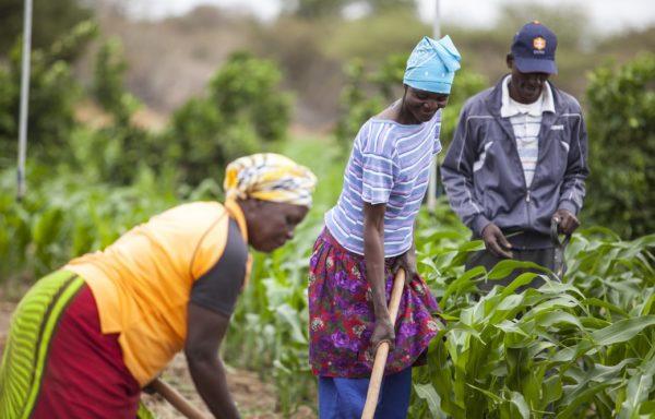 A Shashe la coltivazione della terra occupa soprattutto le donne, che con il sostegno di Cesvi rafforzano le proprie capacità di gestione del raccolto verso una progressiva autonomia. Foto di Roger Lo Guarro.