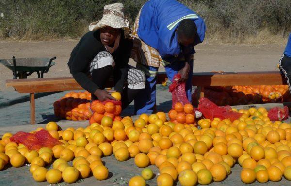 Secondo stime di progetto, entro il 2030 gli aranceti saranno in grado di produrre 6000 tonnellate di arance.