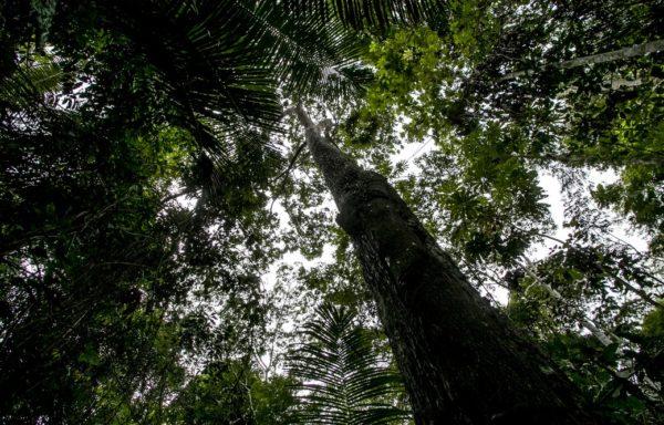 L'albero della noce amazzonica. Foto di Roger Lo Guarro